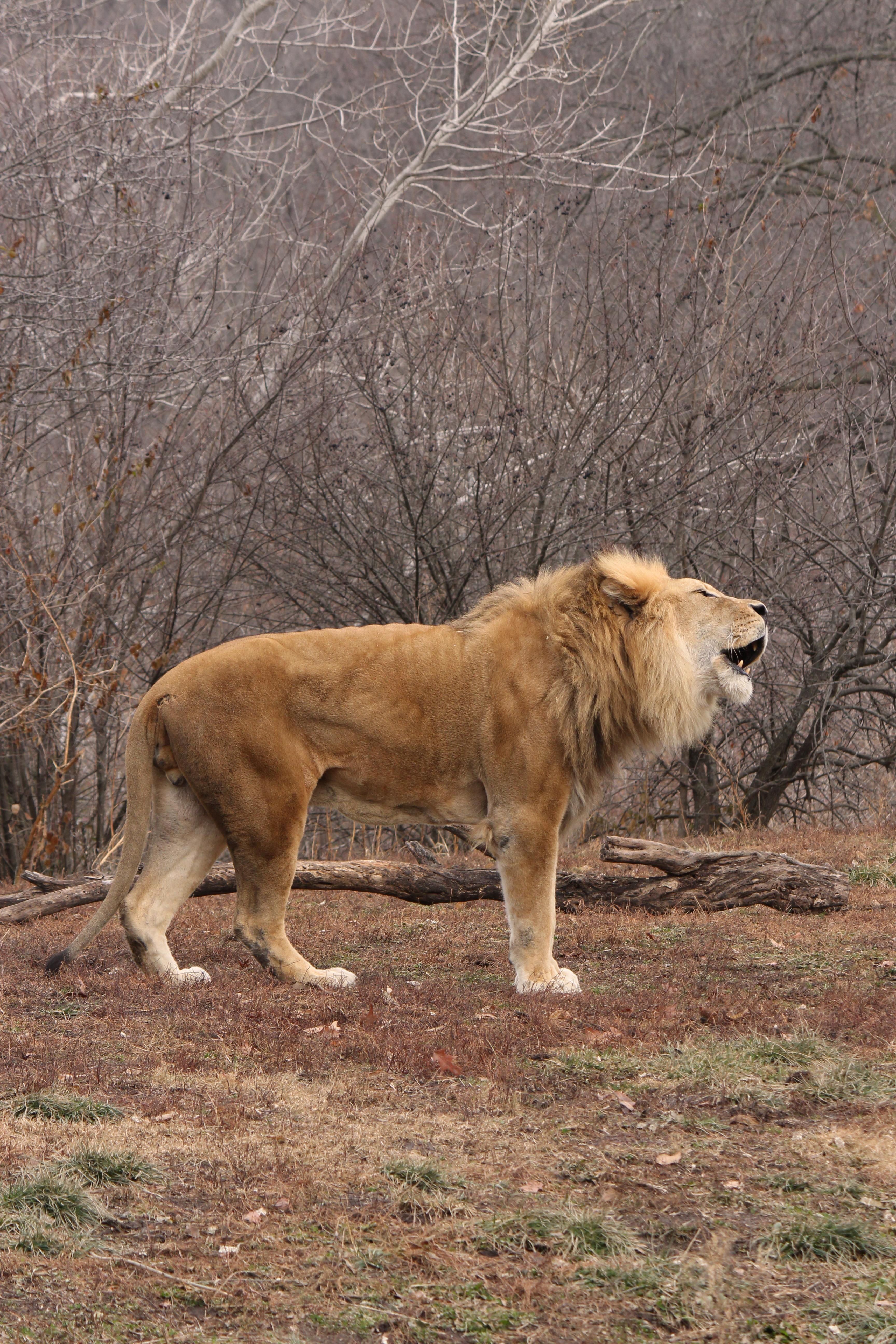 Learn What Lion Sounds Mean and Sound Like - photo#37