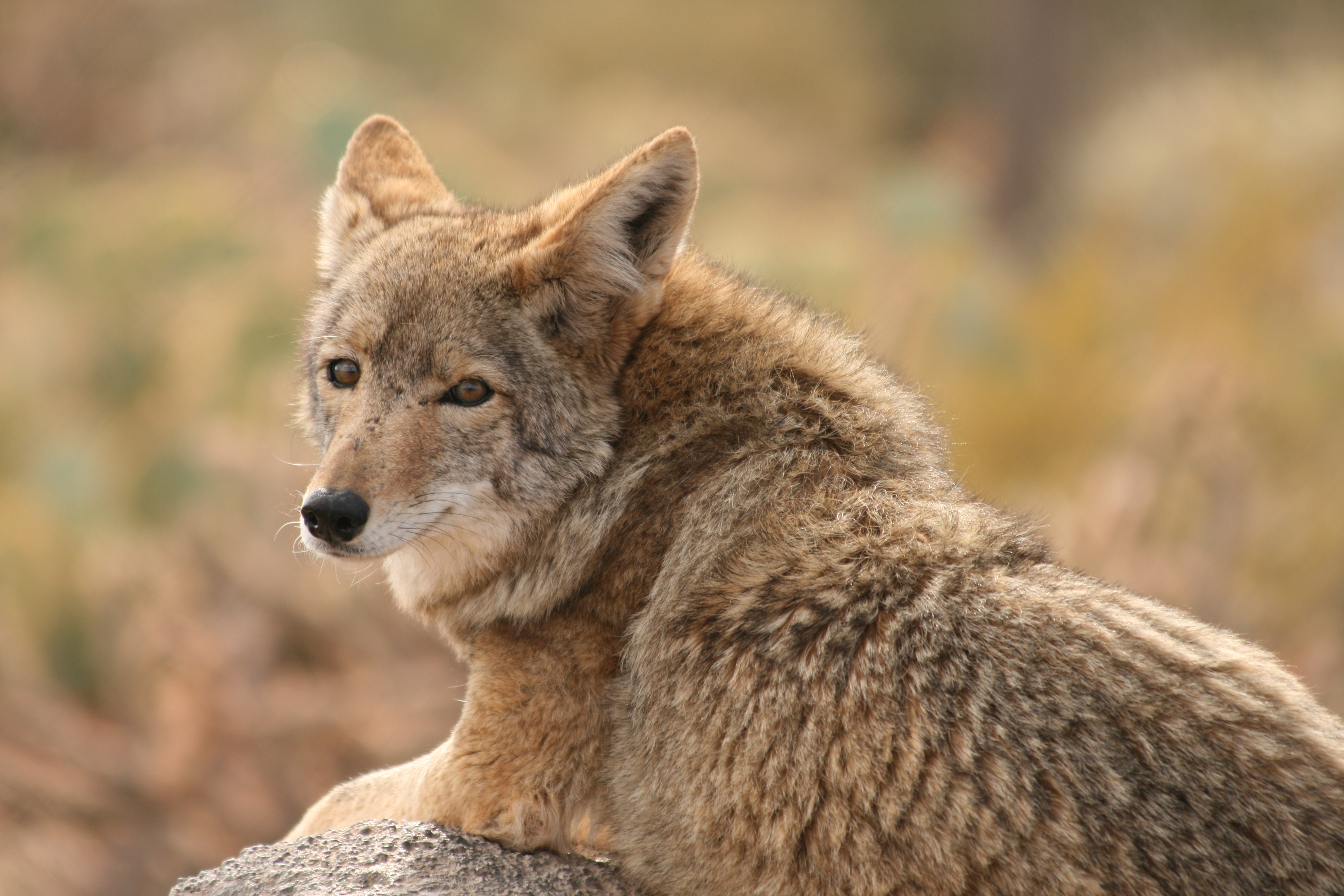 Coyote Sounds: The Major Types And Their Uses