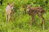 whitetail twins - average hunter