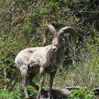 mountain ram goat