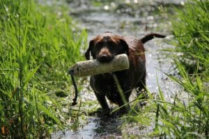 Dental Hygiene for your Sporting Dog dog dental problems, hunting dog dental, sporting dog hygiene Hunting