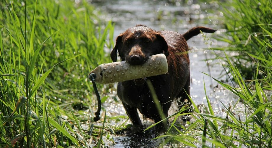 Dental Hygiene for your Sporting Dog