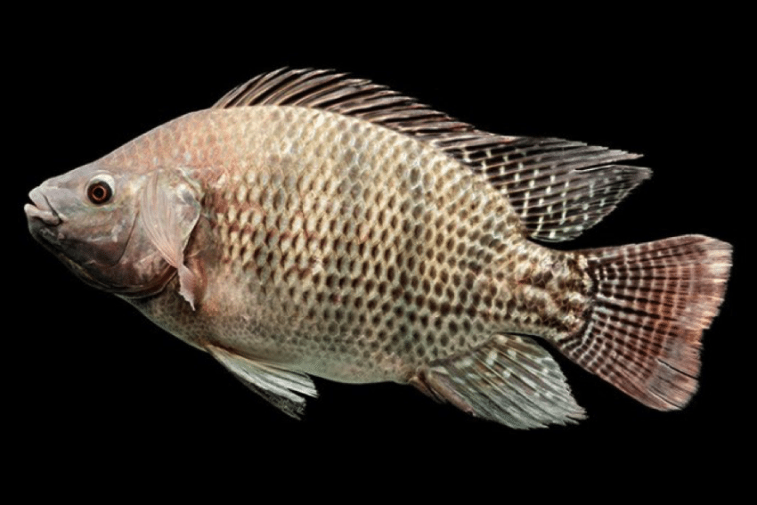 What do catfish eat averageoutdoorsman for What do tilapia fish eat