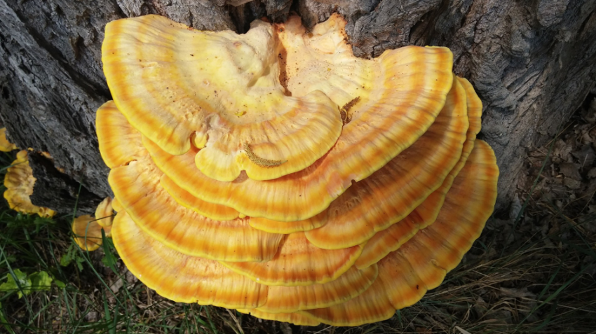 Health Benefits of 3 Powerful Functional Mushrooms fungi, outdoor survival Outdoors