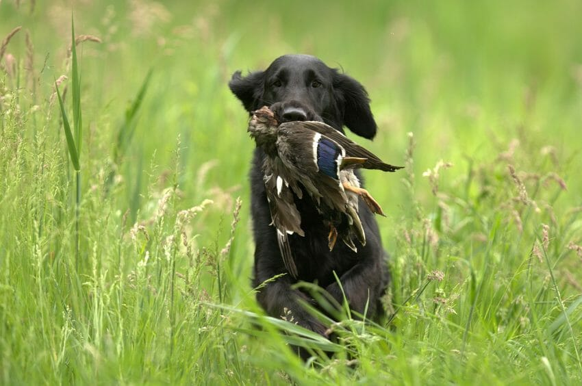 hunting dog health