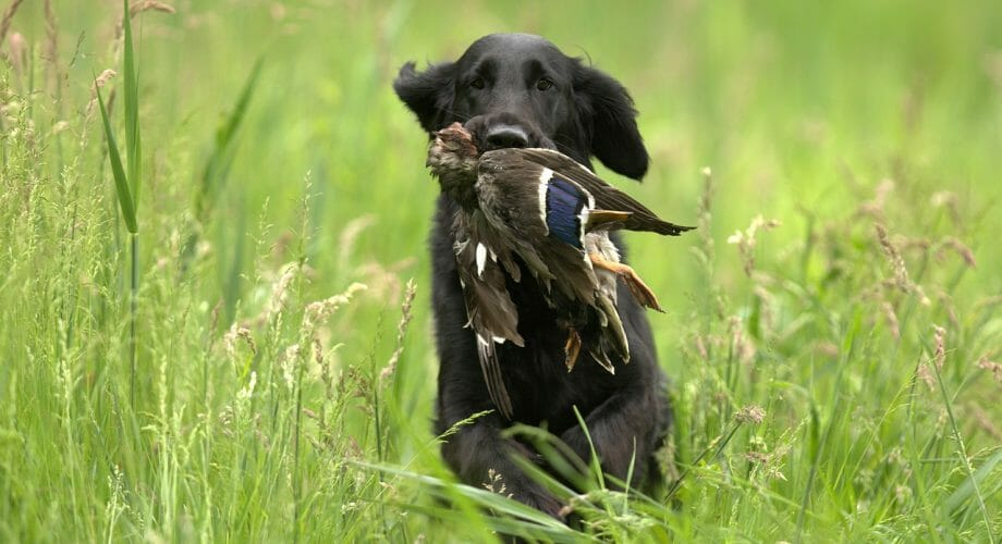 6 Ways How to Boost Your Hunting Dog's Health