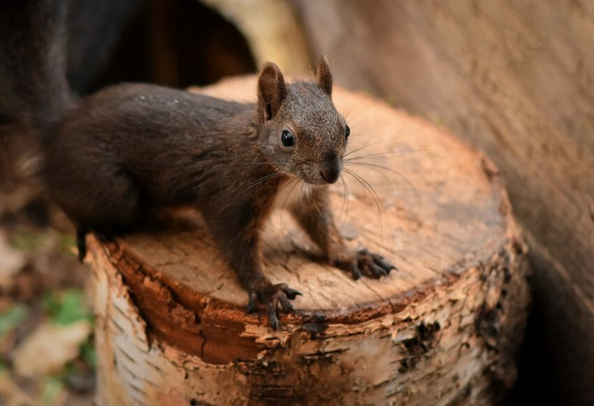 The Best Ways to Repel Squirrels: Tips and Tricks pest control Outdoors