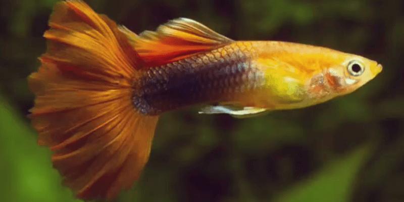 5 Freshwater Fish to Help you Start an Aquarium fish Outdoors